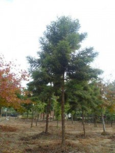 澳洲南洋杉 (2)