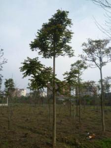 澳洲香椿 (2)