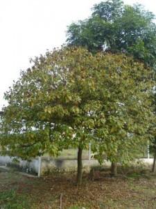 胭脂木 (2)